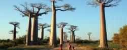 Avenija Baobab