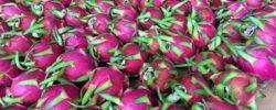 zmajev sadež